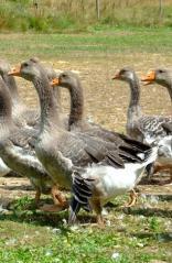Producteurs d'oies, canards, poulets...